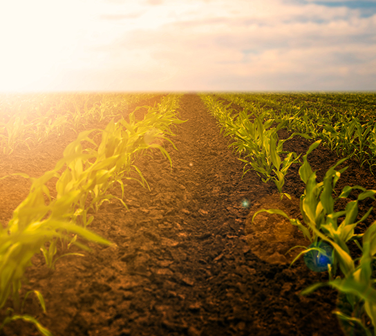 A sun setting over a newly sprouting cornfield