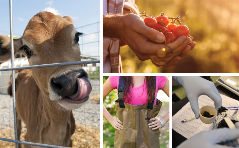 A cow with it's tongue out, a man holding tomatoes, a girl in waders, and a scientist measuring